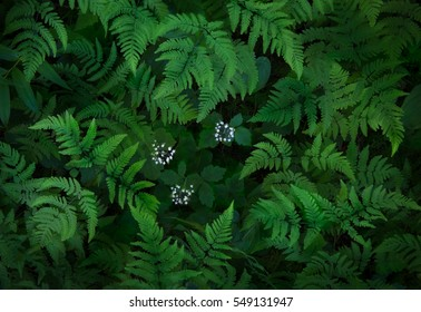 Intimate scene of rainforest ferns enveloping small delicate flowers, Sol Duc area of Olympic National Park, Washington