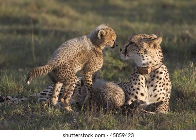 Intimate shot of cheetah mother and cub