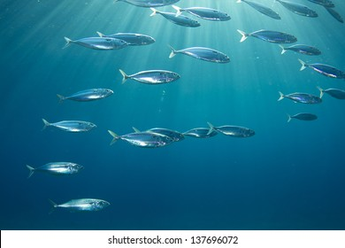Into the Sunlight / Fish School of Indian Mackerel swimming under the sunlight in the Red Sea, Egypt.