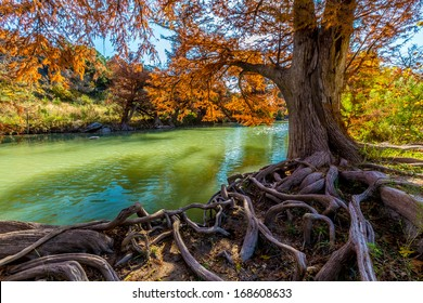 Intricate Intertwined Cypress Tree Roots with Beautiful Fall Foliage on the River at Guadalupe State Park, Texas