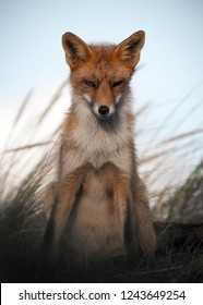 Intriguing looking fox sitting