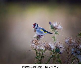 Introduced Species. Adult male european goldfinch on a scottish thistle in Tasmania, Australia.