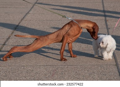 Introducing two dogs when walking