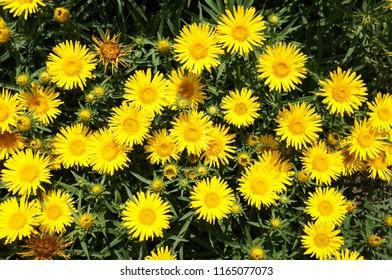 Inula ensifolia yellow flowers background
