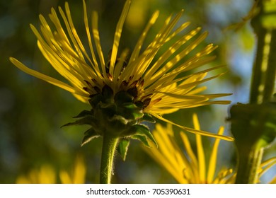 Inula helenium blossoming in a summer meadow