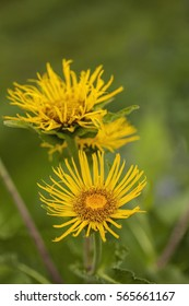 Inula helenium (Elecampane)blossoming in a summer meadow
