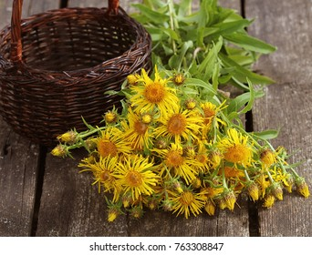 Inula helenium or horse-heal or elfdock yellow flowers with green on wooden background. Medical plant contains a lot of essential oils, saponins, inulin, vitamin E and other substances
