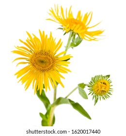 Inula yellow flowers isolated on a white background.
