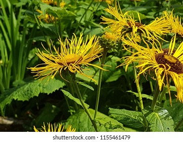 Yellow flower with brown center images stock photos vectors inula yellow flowers with slim petals and large brown center side view with foliage mightylinksfo