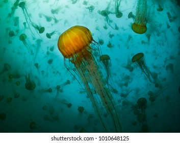 """""""Invasion of Jelly"""" A smack of jellies as seen from underwater in Monterey Bay, California."""