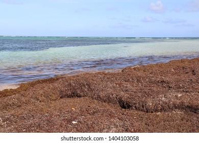 invasion of sargassum on a tropical beach
