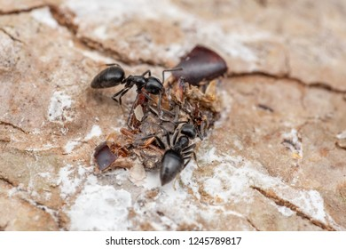 Invasive ants Technomyrmex albipes (white-footed ant) foraging and eating bird droppings in tropical rainforest, Queensland, Australia