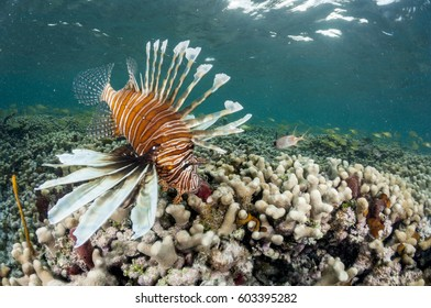 Invasive Caribbean lionfish on coral reef.