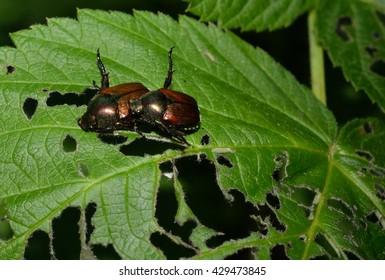 Invasive destructive Japanese beetles eating and destroying a leaf.  A garden pest.