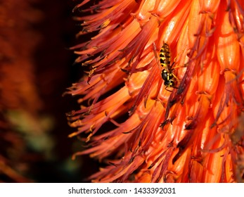 Invasive German Wasp (Vespula germanica) collects honey from a Cape Aloe in evening sunlight at Suikerbossie, Hout Bay, Cape Town against the bright orange of the sugary nectar juice laden aloe