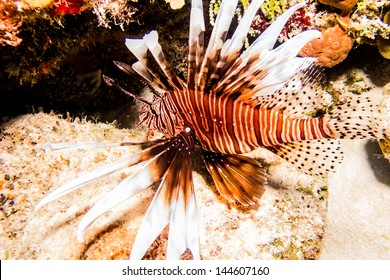 Invasive lionfish from the coral reefs of the mesoamerican barrier. Mayan Riviera, Mexican Caribbean.