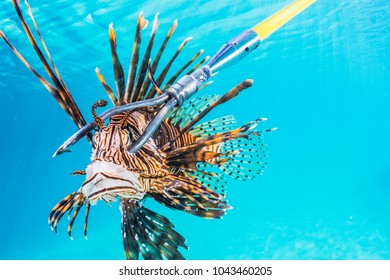 An invasive lionfish on the end of a spear