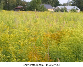 Invasive plants in the nature of Latvia. Canadian goldenrod (Solidago canadensis) in the meadow - originally growing as an ornamental and phytotherapy plant in city environment and for flower gardens.