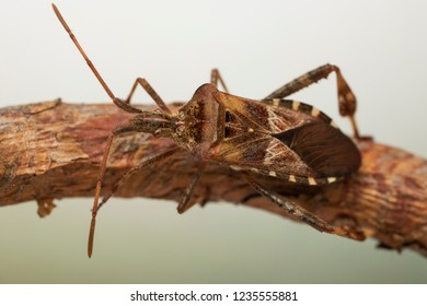 Invasive species Western Conifer Seed Bug (Leptoglossus occidentalis)