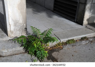Invasive tree of heaven grows out of pavement