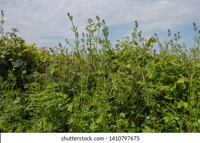 Invasive Weed of Cleavers or Sticky Willy (Galium aparine) Sprawling in a Roadside Hedgerow in Rural Devon, England, UK