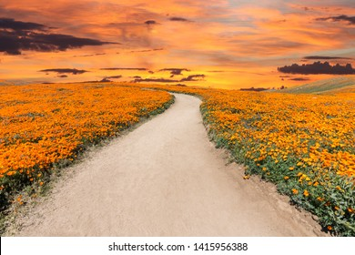 Inviting path through poppy wildflower super bloom field with sunset sky in Southern California.