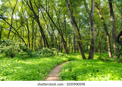 Inviting rustic pathway leading to a summer forest.