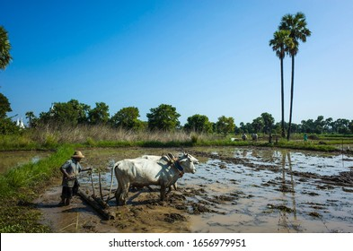 Inwa (Ava), Myanmar - January 10, 2020: Farmer plowing with oxen flooded rice fields