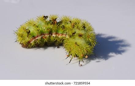 Io moth caterpillar in Mississippi
