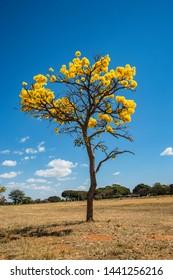 Ipe amarelo (Tabebuia alba) flowers over blue sky background