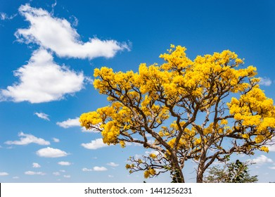 Ipe amarelo (Tabebuia alba) flowers over blue sky background