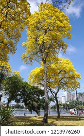 Ipe Brazilian tree