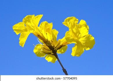 Ipe flower, Lapacho.