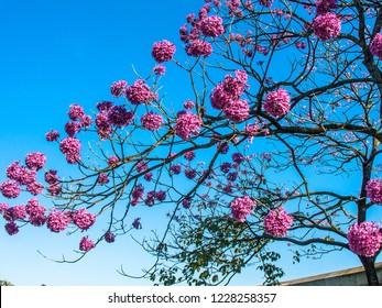 Ipe Pink tree - Tabebuia rosea Brazil