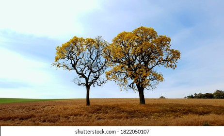 Ipe tree in a dry field and blue sky