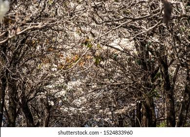Ipes white tree flowering grove in the municipality of Marilia