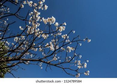 Ipes white tree flowering on street in the municipality of Marilia