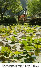Ipoh, Perak, Malaysia - January 3 2019: lotus leaves in Kek Lok Tong Temple's lake garden, Gunung Rapat, Ipoh, Perak.