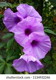 Ipomoea cairica has many common names, includingmile-a-minute vine, Messina creeper, Cairo morning glory, coast morning gloryandrailroad creeper.