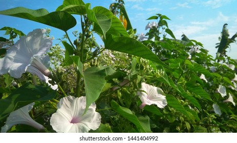 Ipomoea Carnea Images, Stock Photos & Vectors | Shutterstock