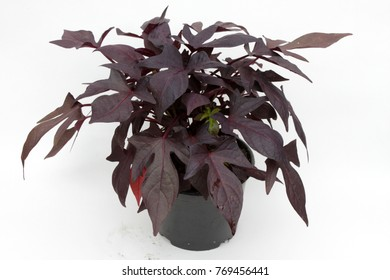 ipomoea. Dark leaves Ipomoea isolated on white background. Ipomoea plant.  The morning glory flowers of sweet potato. Variety of morning glory yak feather yam.  Ipomoea batatas. Floral pattern.