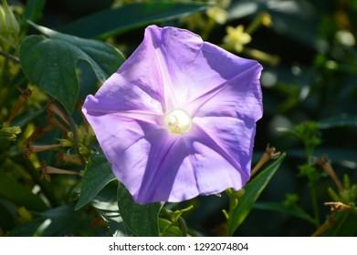 Ipomoea flower of garden