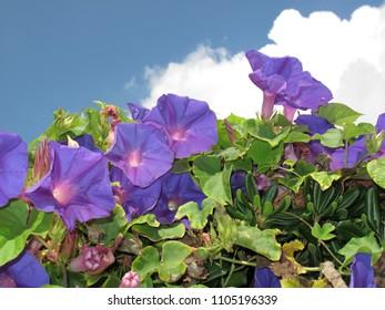 Ipomoea indica purple blossom