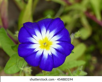 Ipomoea nil is a species of Ipomoea morning glory known by several common names, including picotee morning glory, ivy morning glory, and Japanese morning glory.