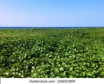 Ipomoea Pes Caprae Plants Of Rural Beach Ecology At Seririt Village, North Bali, Indonesia