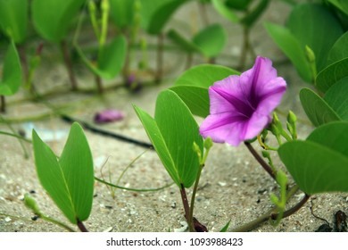 Ipomoea pes-caprae, beach morning-glory, goat's foot creeper grow up on the beach is herb for cure toxic of jellyfish.
