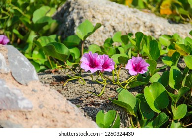 """The """" Ipomoea pes-caprae"""" are blooming on the beach in the morning thailand."""