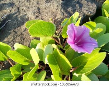 ipomoea pes-caprae flowers above rocks