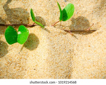 Ipomoea pes-caprae on sand beautiful beach in morning and copy space background. [Scientific Name : Ipomoea Pes-caprae]