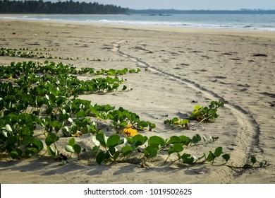 Ipomoea pes-caprae on Tropical beach in Burma